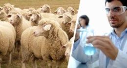 imunitet stada ovaca